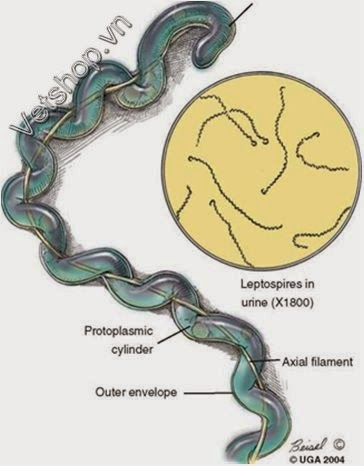 Hình 1: Hình mô phỏng leptospira