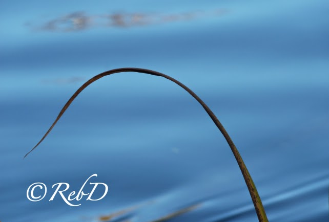 vasstrå mot bakgrund av vatten. foto: Reb Dutius