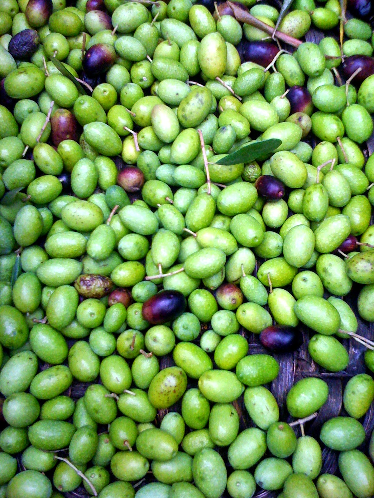 picking, treating and preserving olives in brine, and olives marinated in olive oil and herbs