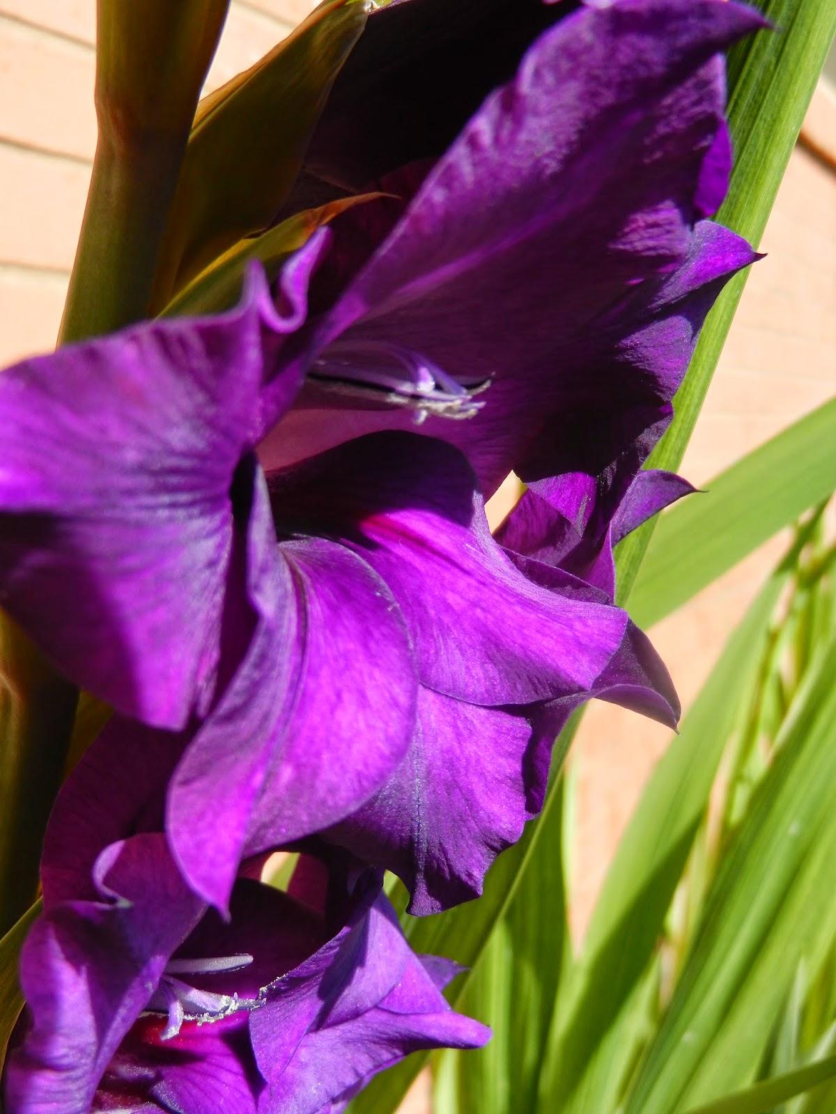 royal purple gladiolus