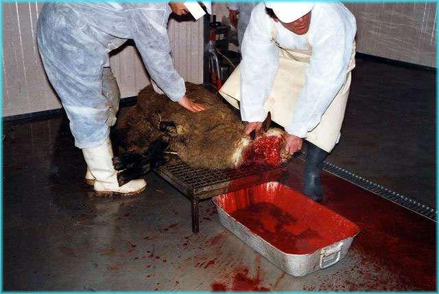 Todeskampf Der Tiere Dauert Mitunter Minuten  Die Betroffenen Tiere