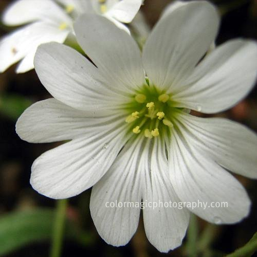 Stellaria holostea-Greater Stitchwort macro-closeup