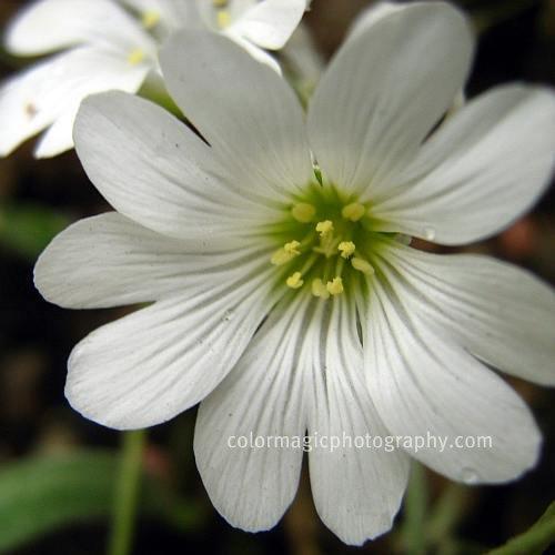 Stellaria holostea-Greater Stitchwort macro-closeup