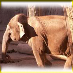 gajah_asia_berjemur_matahari