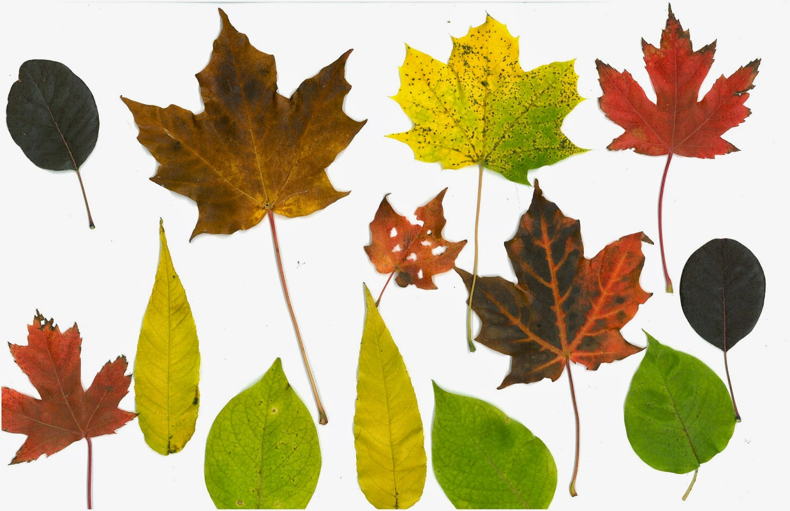 It's just an image of Gutsy Fall Leaf Printable