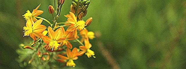 Foto de flores amarelas com brotos e fundo verde