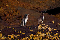 A Pair of Galapagos Penquins Which Mate for Life