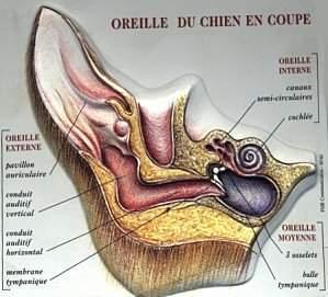 avoir 4 pattes au bled la gale des oreilles