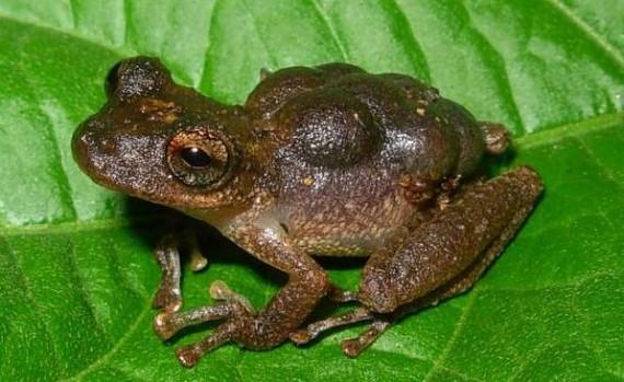 Marsupial Frogs