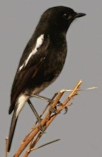 Habitat Burung Endemik Yang Memiliki 6 Spesies Salah Satunya Di Indonesia Burung Decu