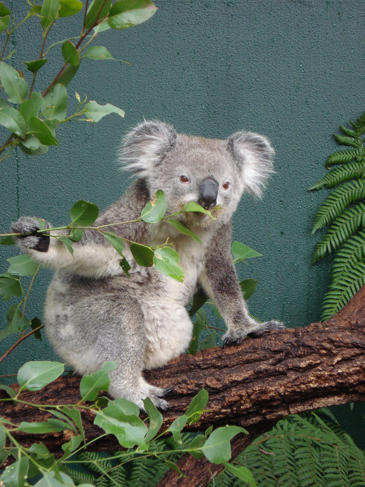 Koala Pouch