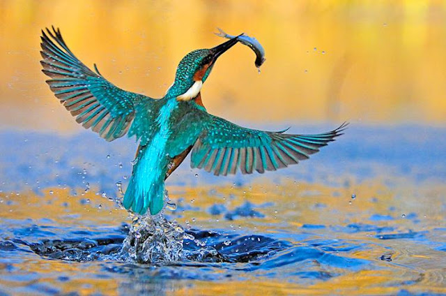 King Fisher with fish