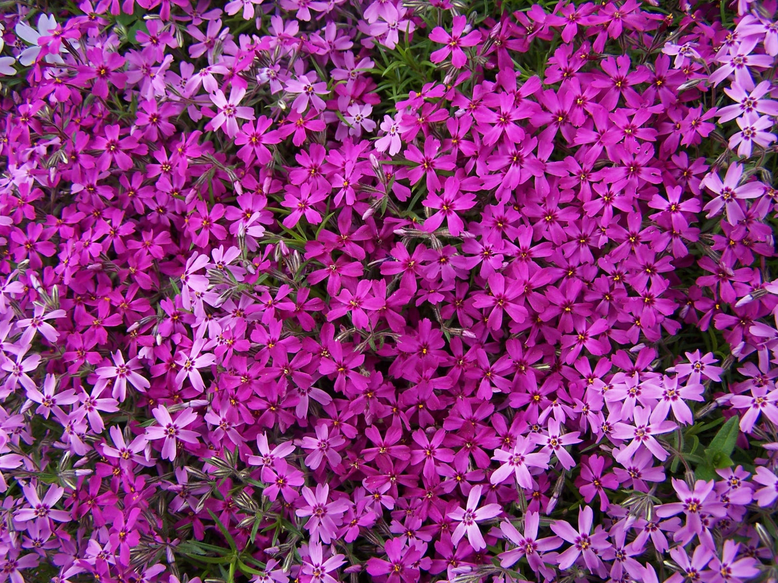 Phlox flowers for Perennial ground cover with pink flowers