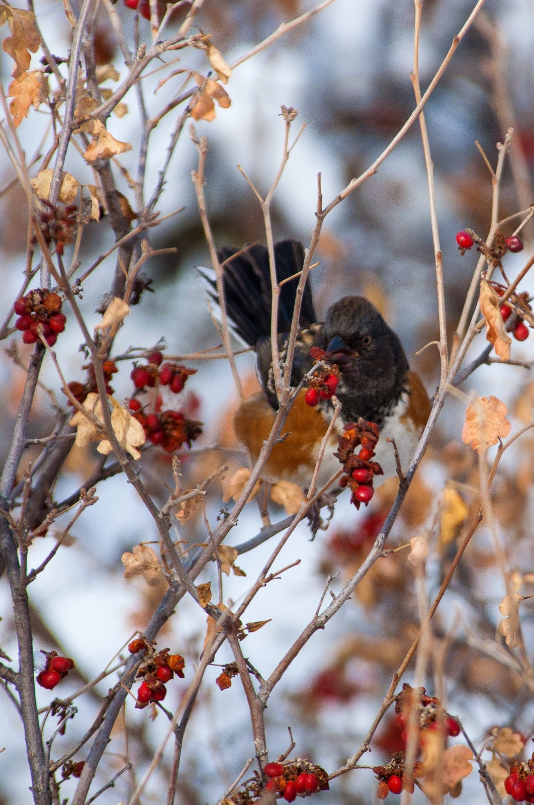 Spotted Towhee, Waterton Canyon