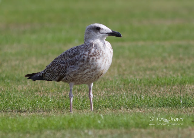 1st Winter, Gulls, Wanstead, michahellis