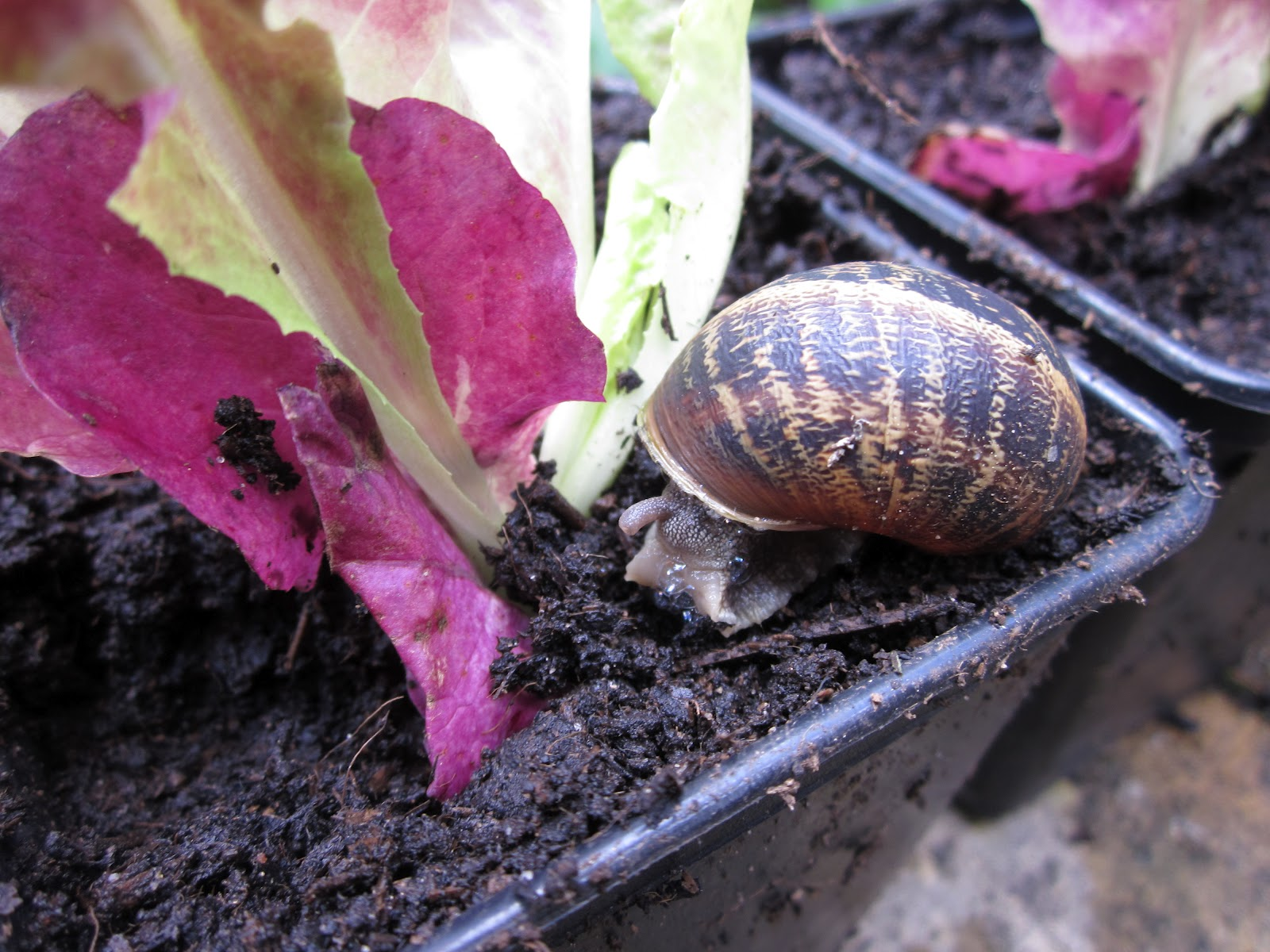 Red Vs Green Lettuce What Do Slugs And Snails Really Like
