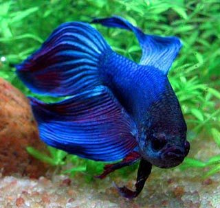 Female Betta Fish on Female Betta Fish Jpg