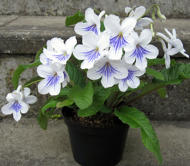 Streptocarpus Gwen, grown from a starter plant in July 2010.  6 May 2011.