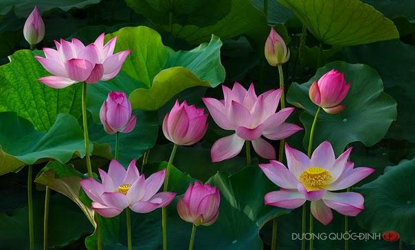 Hoa sen là một loài hoa đẹp, những cánh hoa mỏng manh màu hồng nhạt nhưng mang mùi hương đằm thắm mà quyến rũ