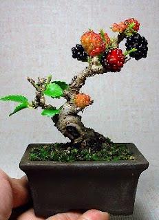 bonsai pohon murbei