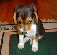 a sad beagle puppy sitting down
