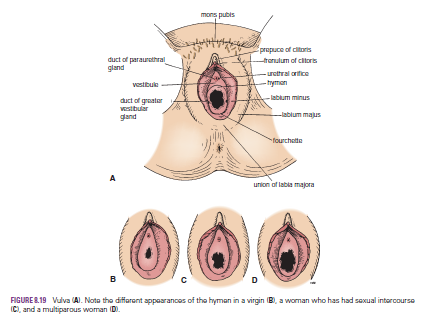 human female urethra