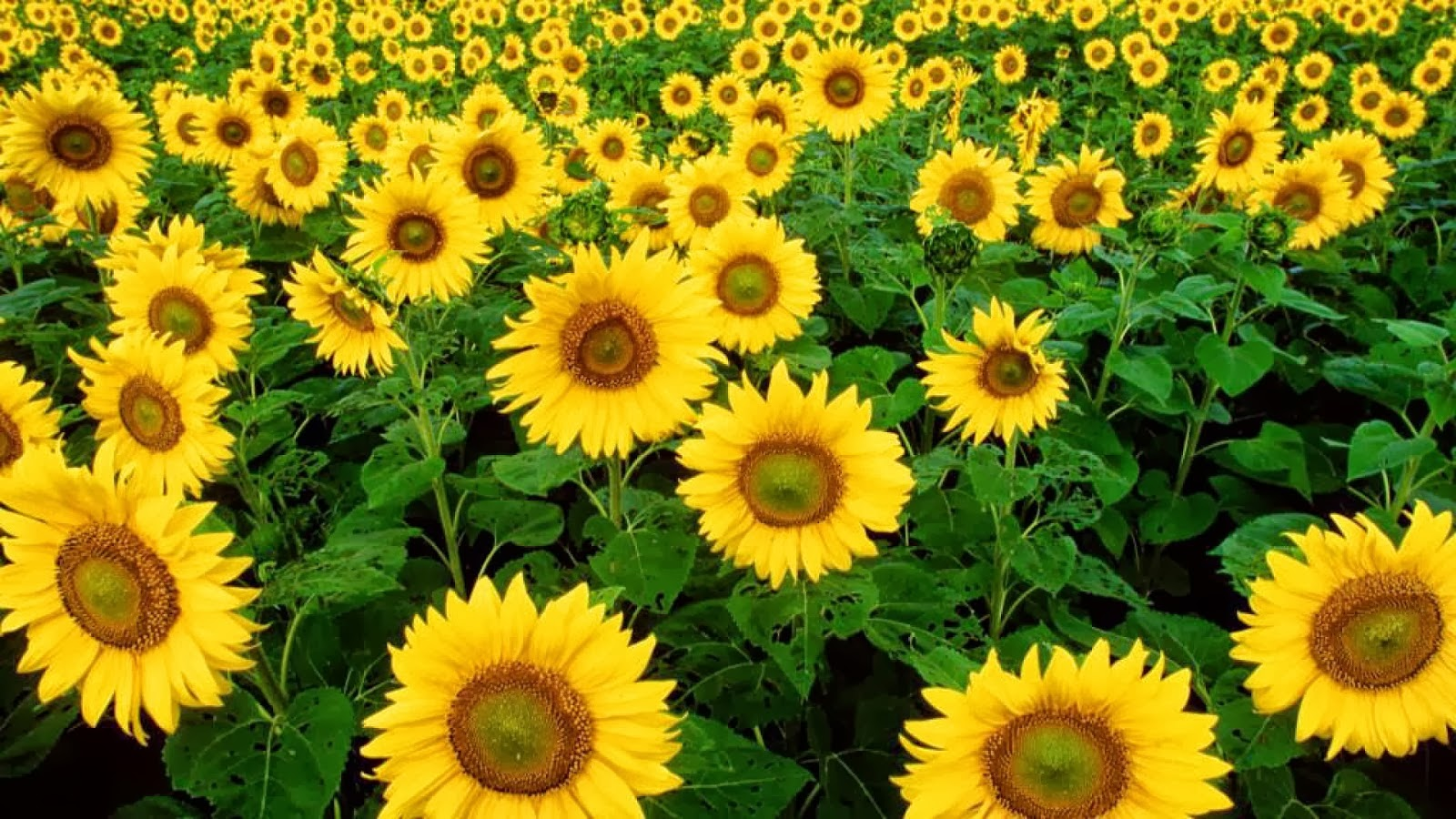 all hot informations download yellow sunflower hd