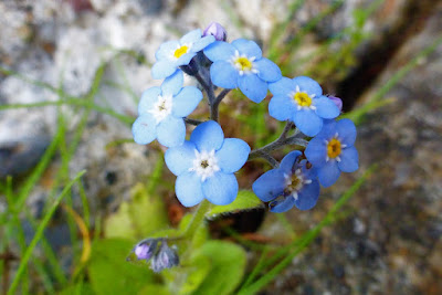Forget Me Not, Myosotis Sylvatica, flowers growing crack in concrete sidewalk