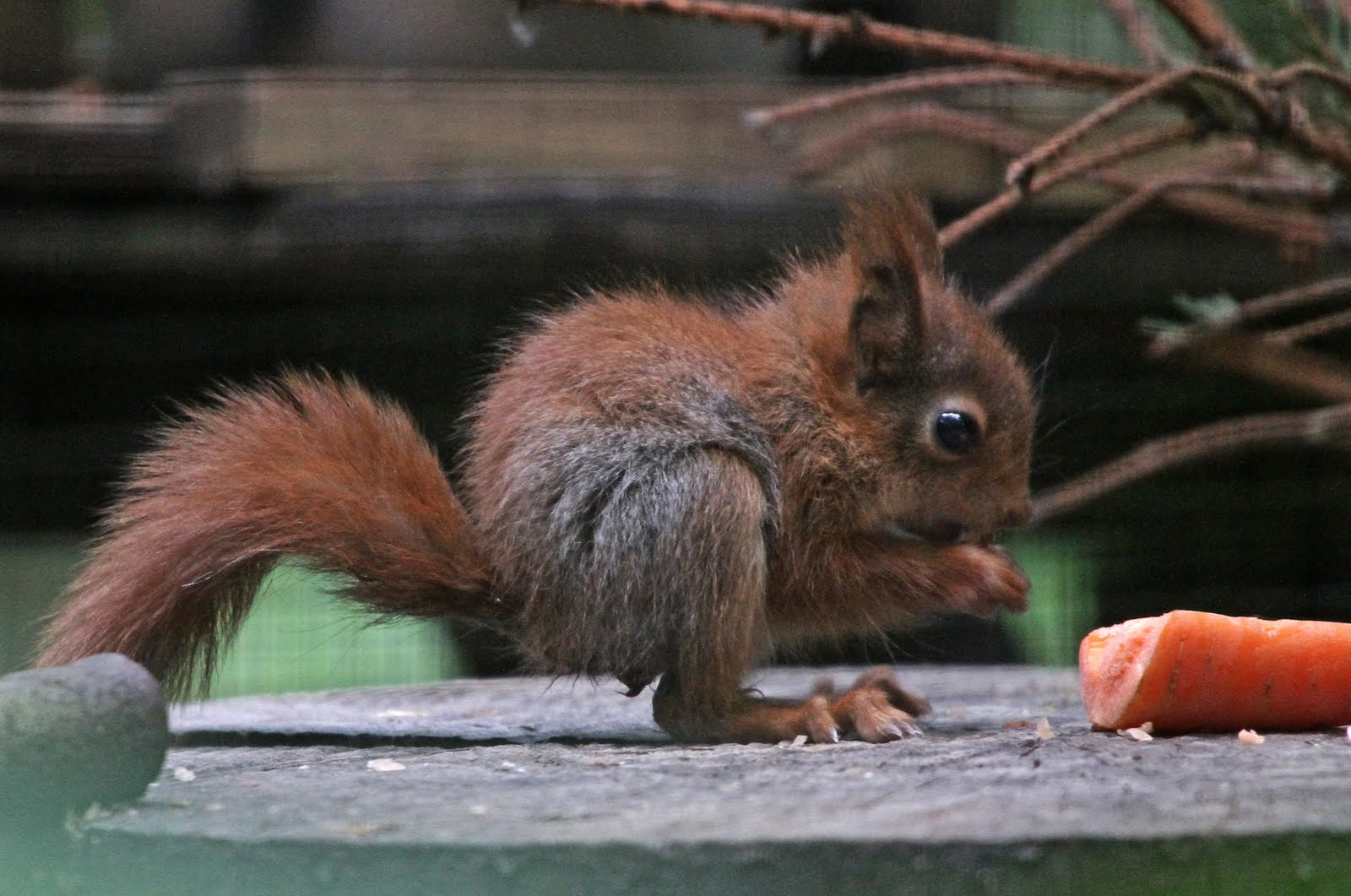 Baby red squirrels - photo#11