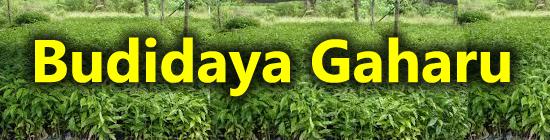 cara menanam pohon gaharu, pohon gaharu, gaharu