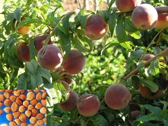 Prunus persica (L.) Batch (Fam. Rosaceae)