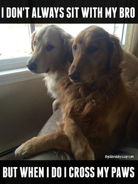 golden retriever dogs meme, funny dogs