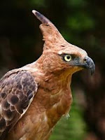 Mitos atau Fakta adanya burung garuda