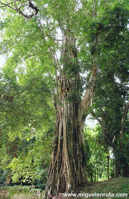 Ficus-altissima-Angkor