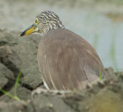 Chinese Pond Heron (Ardeola bacchus)