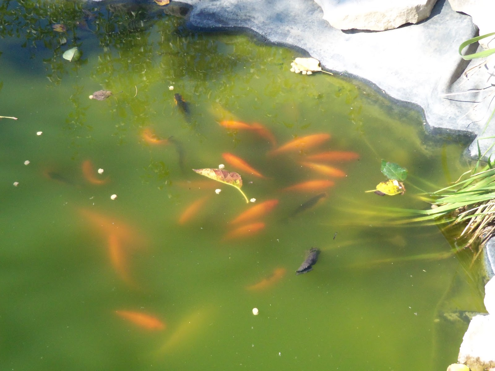 Grandma bonnie 39 s closet todays walk yesterday for Freshwater koi fish
