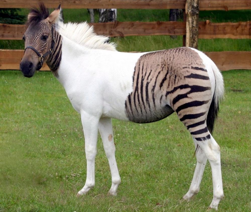 Cruzamento raro entre uma zebra e um pónei
