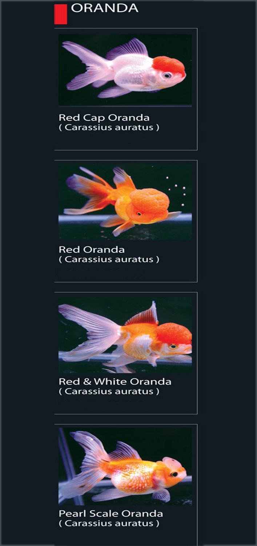 46 Jenis Ikan Hias Koki Populer Alam Ikan