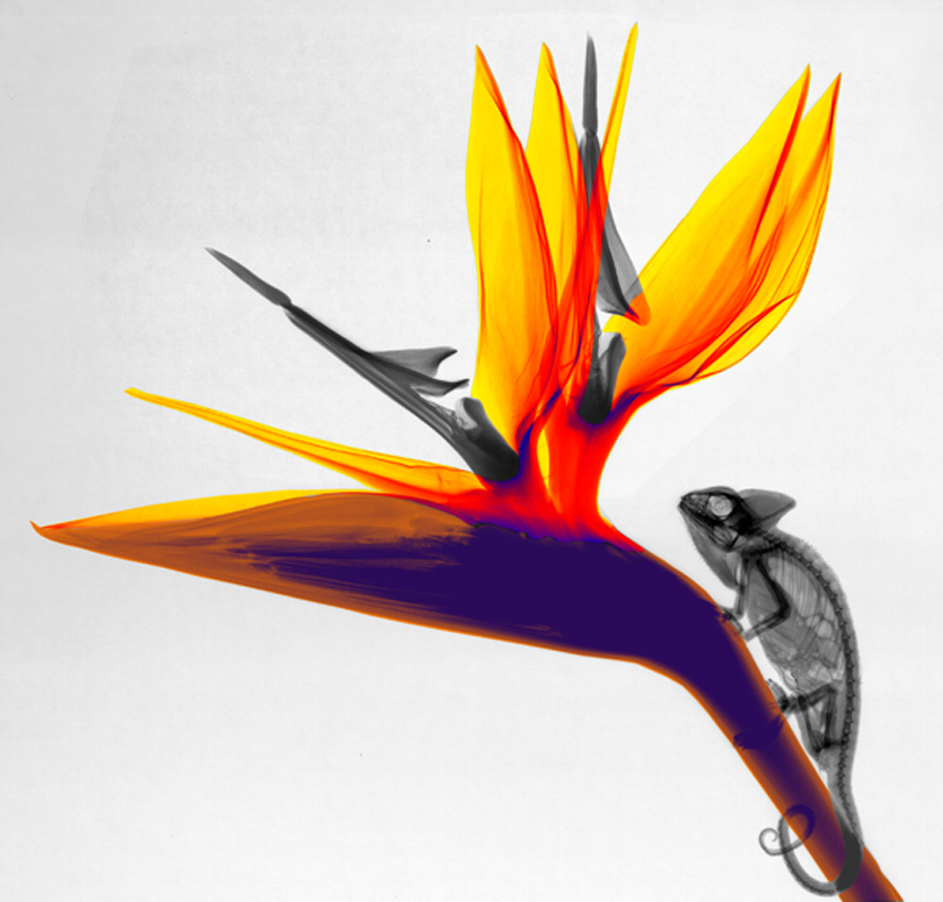 08-Chameleon-Arie-van-t-Riet-Colored-X-ray-Photographs-of-Nature-www-designstack-co