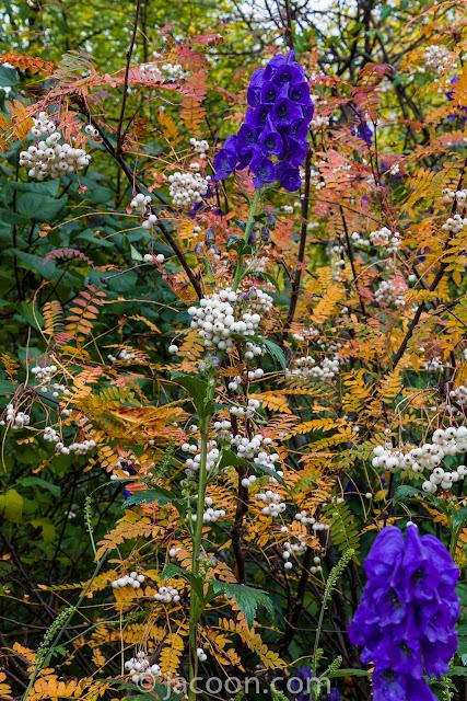 Oktober-stormhatten, Aconitum carmichaelii