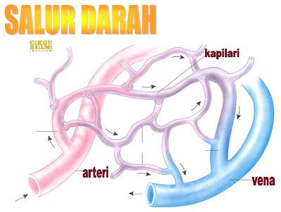 Salur darah manusia arteri vena dan kapilari