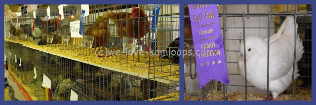 The fowl are in their cages in the barn for display to show the winners.