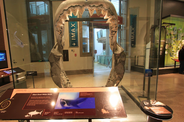 Great White Shark's mouth skeleton and teeth at National History Museum in Washington DC, USA