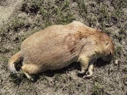 Dog Eat Poisoned Mouse