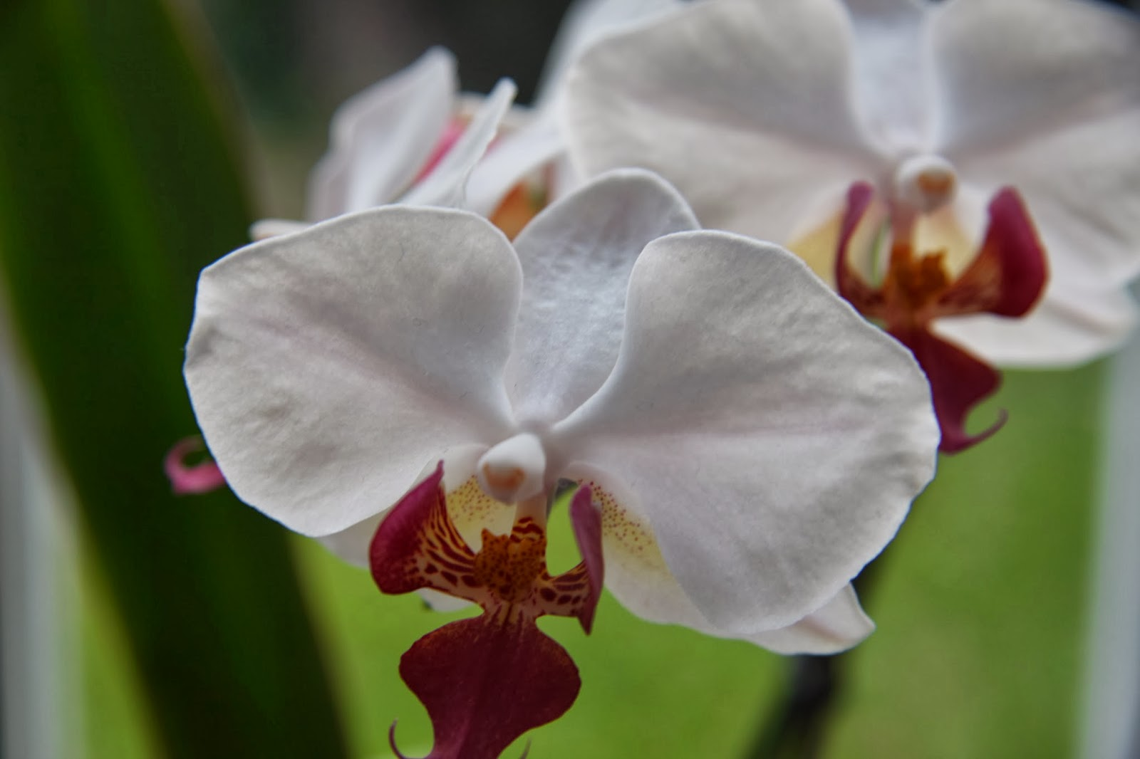 White & Pink Orchid