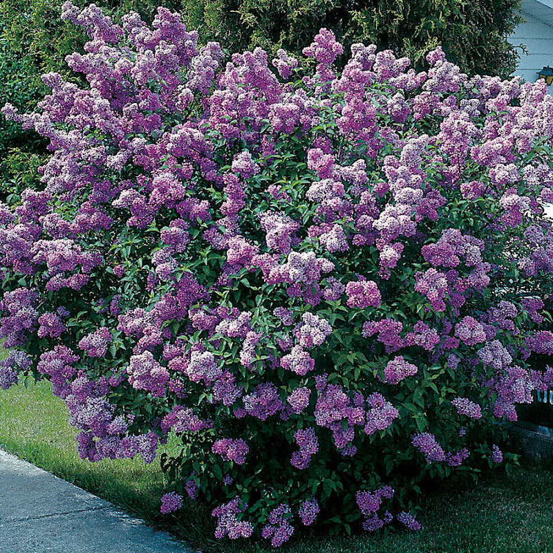 garden design with lilac bush or tree danasokdtop with home and garden channel from - Home And Garden Channel