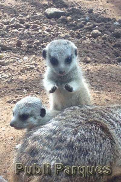 Crías de suricatas