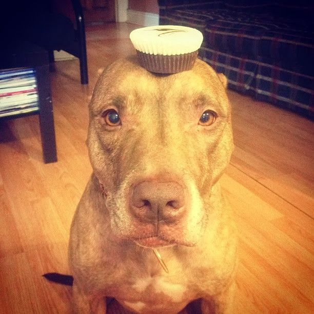Scout the pit bull balances stuff on his head (30 pics), stuff on Scout's head, cake on scout's head