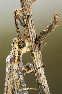 Para ampliar Macronemurus appendiculatus (Latreille, 1807) Hormiga león hacer clic