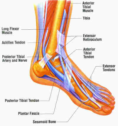 Foot And Ankle Muscles Diagram 62